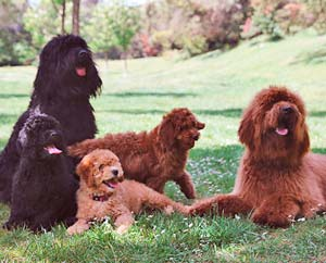 The Australian Cobberdog is a purebreed Labradoodle. It has stable genetics, an Australian pedigree and comes from selected hypoallergenic, balanced parents.