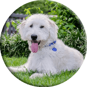 labradoodle photo, round picture