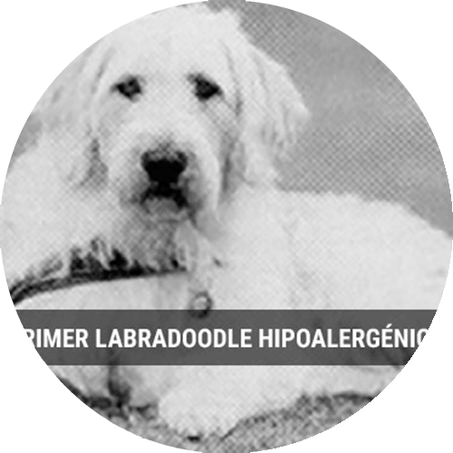 Discover everything about the Labradoodle, the mix between a poodle and a labrador. We explain everything here.