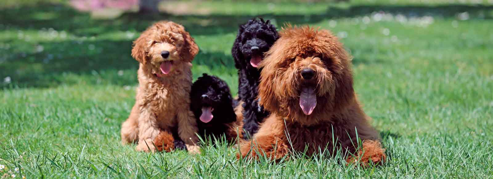 There is no consensus among breeders and so it is difficult to know what to predict when it comes to a Labradoodle as the breeding criteria are very different
