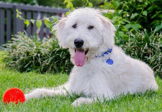 The lack of consensus among breeders and the lack of a single breed standard mean that there is not just one type of Labradoodle