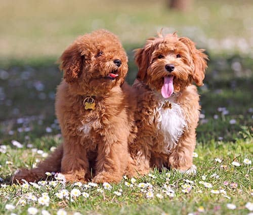 The lack of coherence around the Labradoodle means that we do not know what to expect from it as a dog