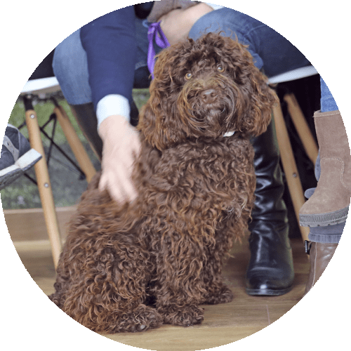 chocolate brown long curly haired dog sitting, round picture