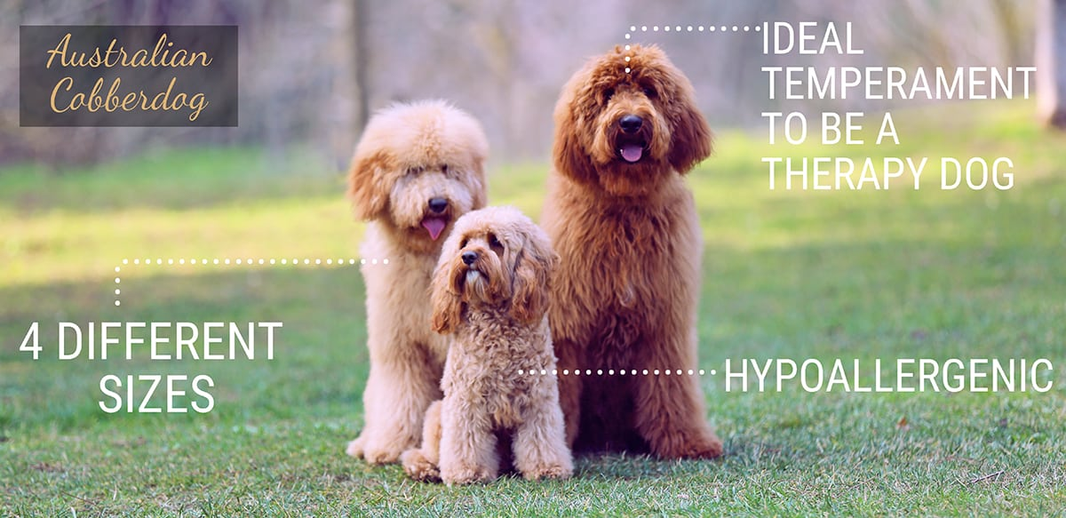 Discover what our Australian Cobberdogs are like. Balanced and hypoallergenic dogs. 3 different sizes and an ideal temperament to be a therapy dog.