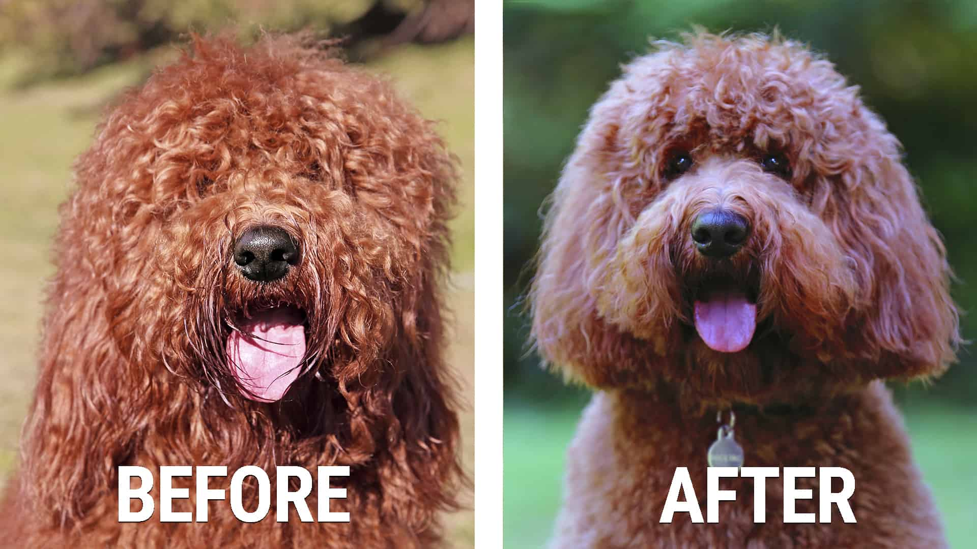 before and after dog grooming session Australian Cobberdog Labradoodle