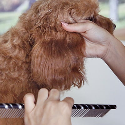 Combing a dog ear, dog grooming