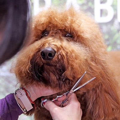 cutting dog hair in hairdresser