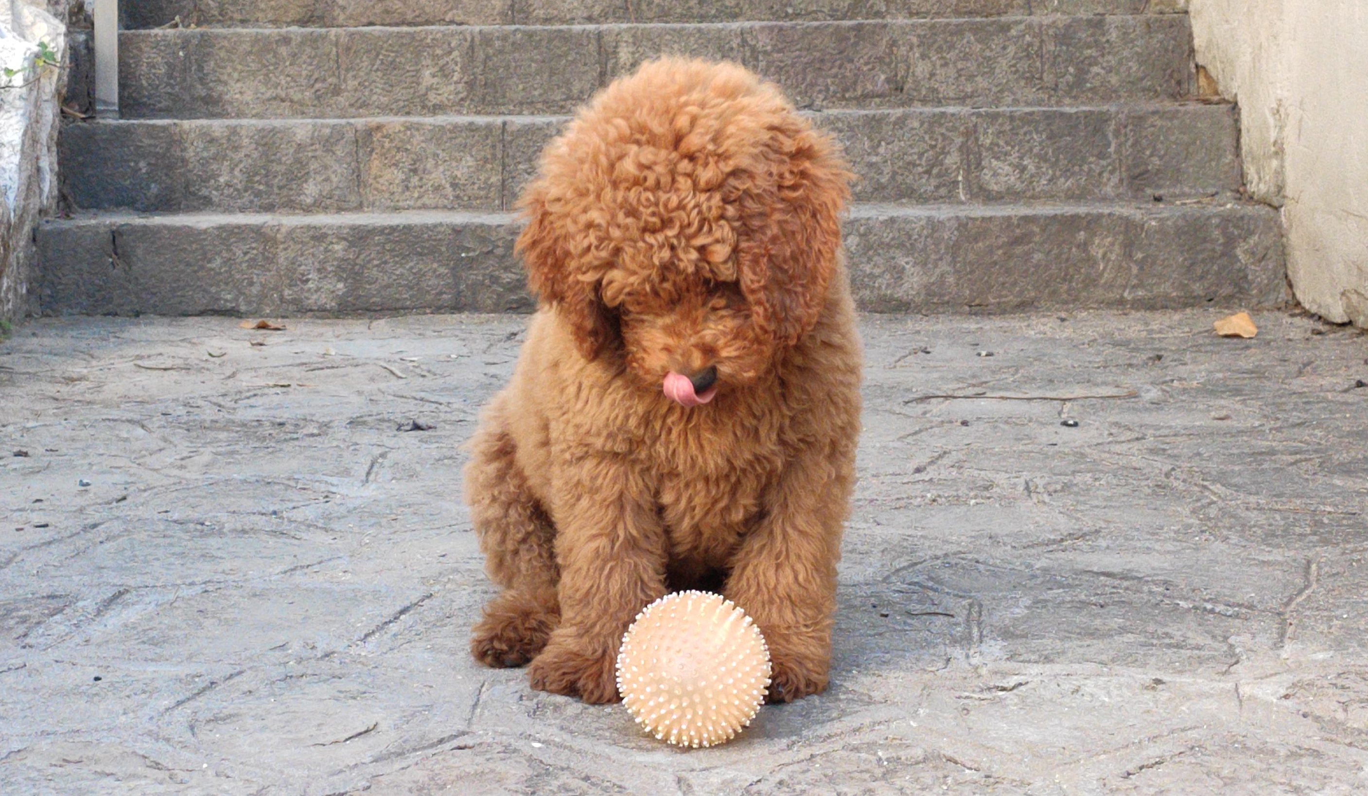 We will teach you how to make your Australian Cobberdog Labradoodle learn what they can and cannot bite