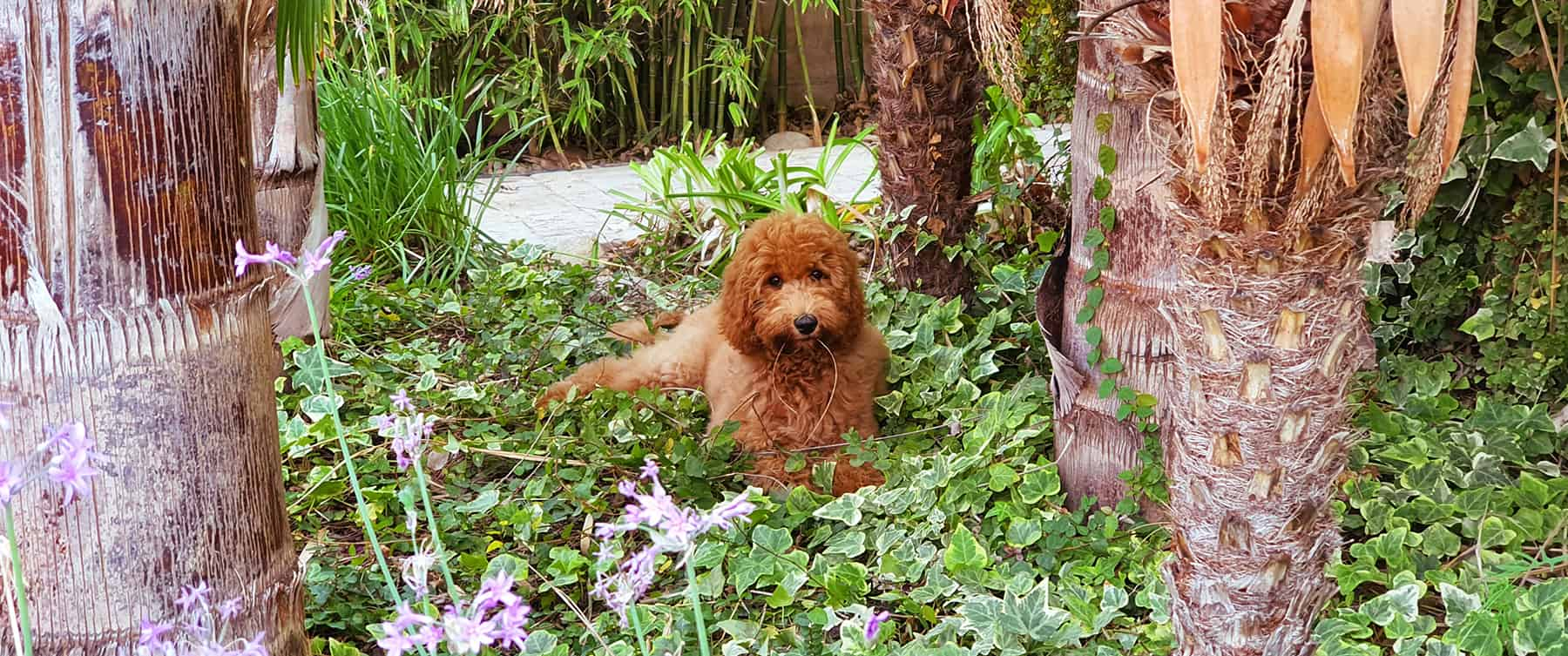 We will teach you how to make your Australian Cobberdog Labradoodle learn what they can and cannot bite.
