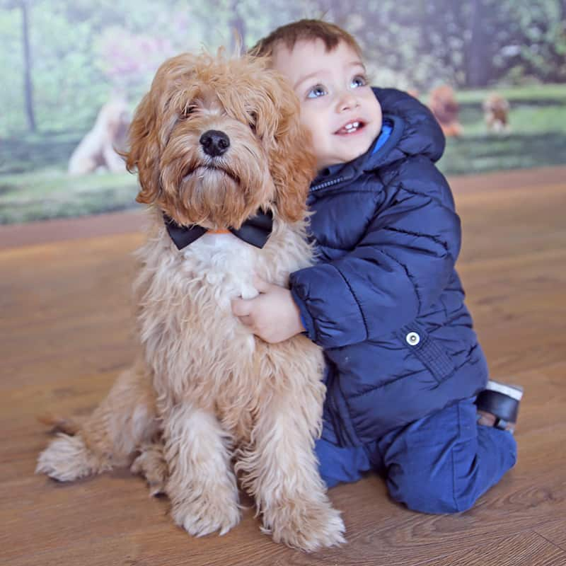 Learn how children and dogs Australian Cobberdog Labradoodle must live together