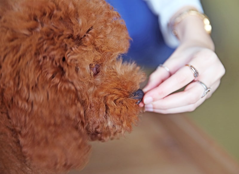 The food you give your Australian Cobberdog Labradoodle is important and here you will find tips on the best feeding options