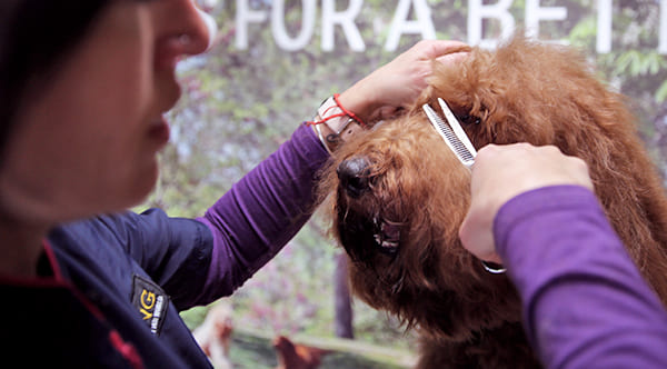 Canine Groomer Cutting Dog Bangs