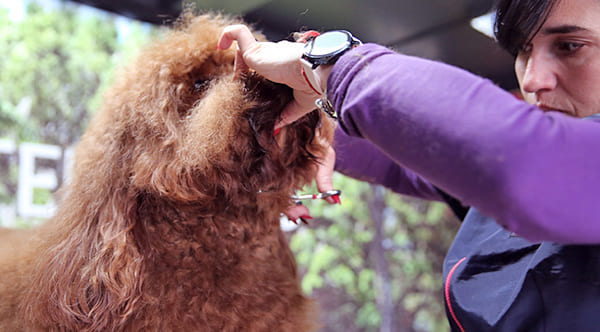 dog groomer cutting dog beard