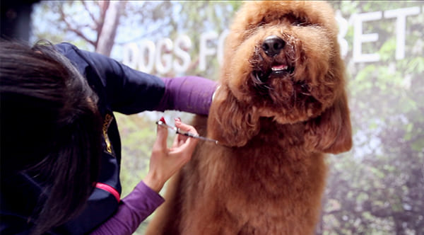 dog groomer cutting dog ear