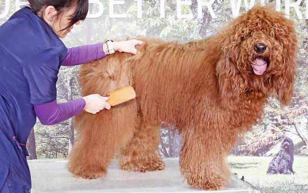 Dog groomer brushing long curly haired dog