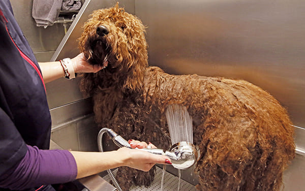 Bathing a dog in a canine salon bathtub