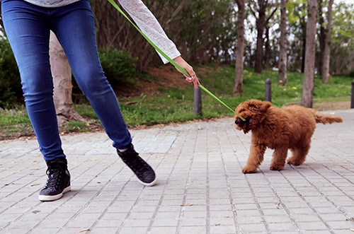How to take a nice walk with your Australian Cobberdog Labradoodle