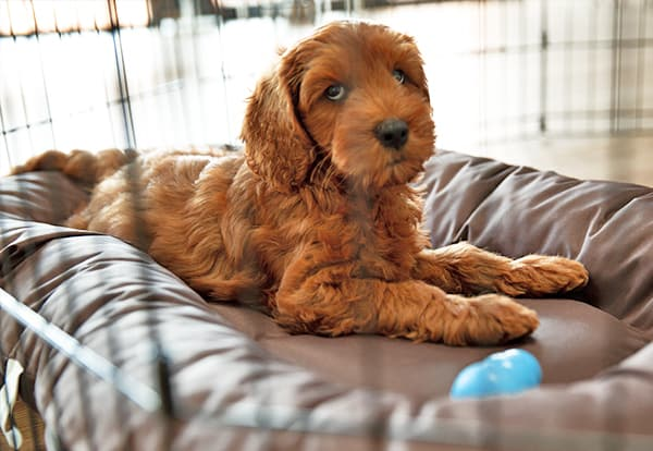 Reason to use the pen dog with your Australian Cobberdog Labradoodle puppy