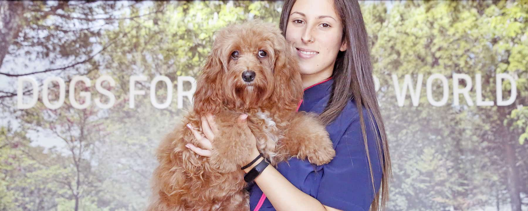Learn how to keep your Australian Cobberdog Labradoodle knot-free